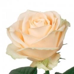 Роза *Кремовая* 1 шт