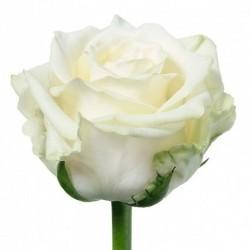 Роза *Белая* 1 шт