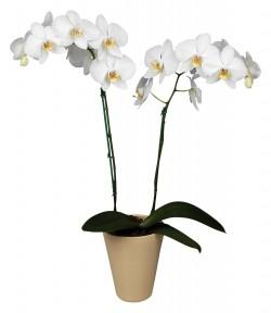 Орхидея *Phalaenopsis ADELAIDE*