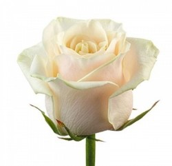 Роза *Бежевая* 1 шт