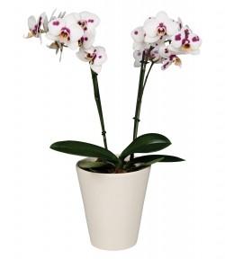 Орхидея *Phalaenopsis BILBAO*