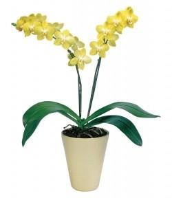 Орхидея *Phalaenopsis LUSAKA*