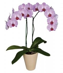 Орхидея *Phalaenopsis SARASOTA*