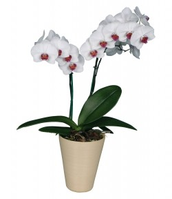 Орхидея *Phalaenopsis WINNIPEG*