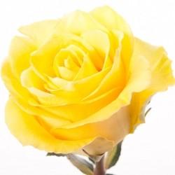 Роза *Желтая* 1 шт