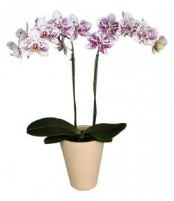 Орхидея *Phalaenopsis MARBELLA*